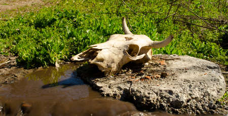 A cow's skull with horns and a pierced head lies on a piece of oil in a puddle of dirty water with green grass.