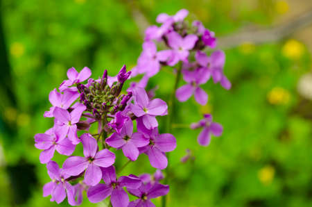 Fresh spring purple, violet Creeping phlox in the garden. Floral poster, wallpaper or holidays card.