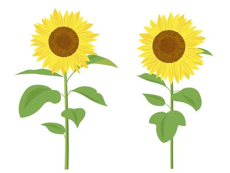 Sonnenblume-Vektor-illustration Standard-Bild - 78609525