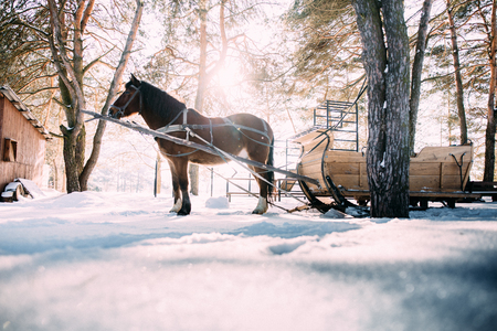 a horse in a harness in the sunlight on the snow in the woods