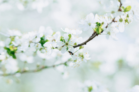 white apple blossom or white cherry blossom on a sunny spring day