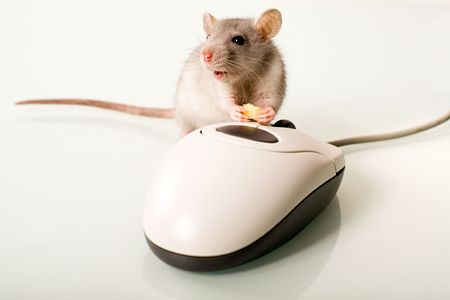 nosey: Photo of nice mammal holding a cheese near the mouse