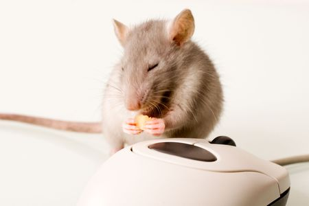 nosey: Rodent is gnawing a piece of cheese near the computer mouse Stock Photo