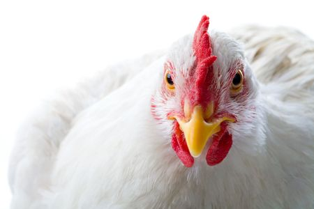 barn barnyard: Close-up of white chicken looking at camera in studio