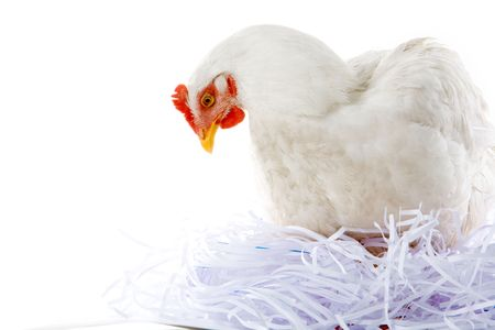 sitter: Photo of hen sitting in artificial nest over white background