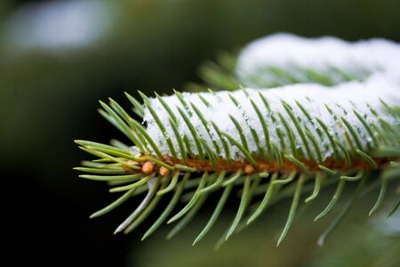 Photo of evergreen pine branch covered with snow in winter