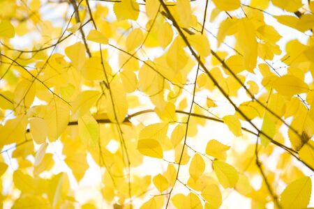 alder tree: View from below of bright yellow alder tree leaves on background of autumnal sky