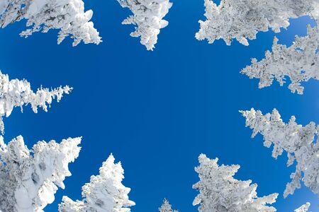flurry: View from below of snow-covered fir trees tops with blue sky upon them