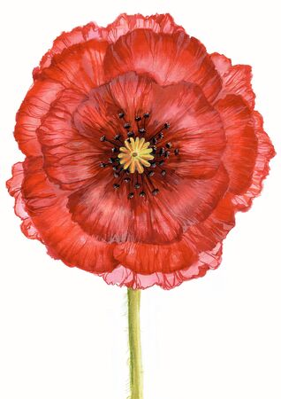 Creative image of red poppy on green stalk isolated over white background