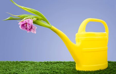 Image of watering can with mauve gladiolus on green grass in garden photo