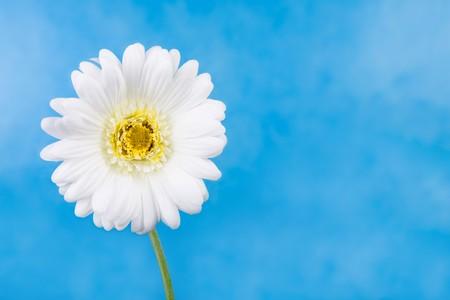 Close-up of white chamomile isolated over blue background photo
