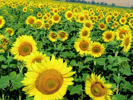 Photo of ripening sunflowers growing on agricultural field at summer photo