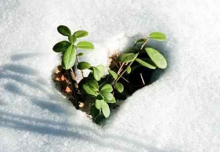 Image of early sprout appearing from melting snowcover in spring photo