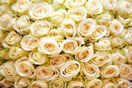 matrimony: Background of many white roses in wedding or other holiday bouquet
