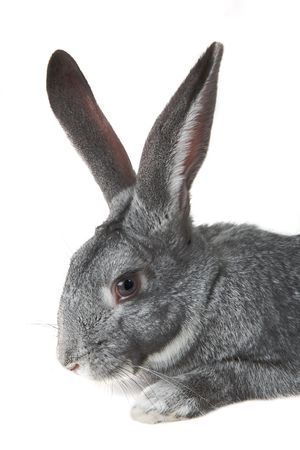 Image of head of adorable domestic rabbit on white background photo