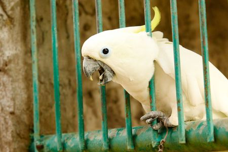 fluffy tuft: Image of white exotic parrot in cage