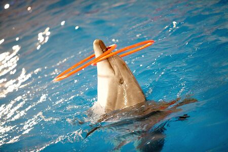porpoise: Close-up of playful dolphin in water with two plastic hoops on nose