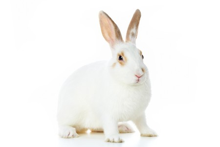 cautious: Image of cautious rabbit over white background in isolation Stock Photo
