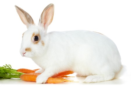 Image of cautious rabbit with juicy carrots sitting in isolation photo