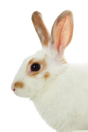 cautious: Image of cautious rabbit head in isolation