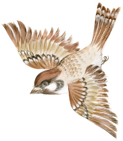 ornithology: Painting of a sparrow flying in isolation