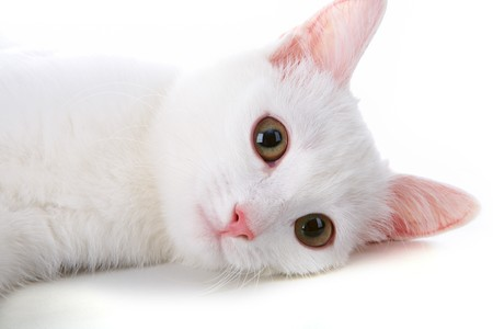 Image of playful white cat lying in studio over white background photo