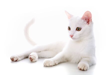 Image of calm white cat lying in studio over white background photo