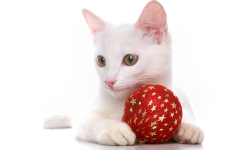 Image of white cat with red toy ball in studio over white background photo
