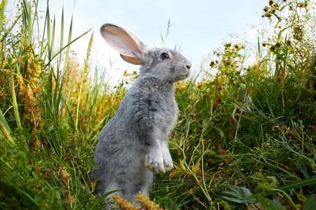 conejo: Imagen de posicionamiento de conejo cauteloso en pasto verde en verano