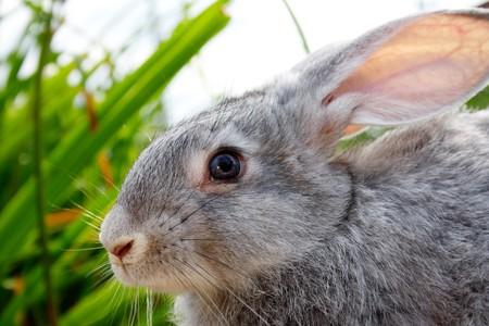 cautious: Image of cautious grey bunny outdoor