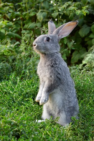 Image of cautious rabbit standing in green grass in summer Stock Photo