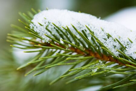 pureness: Close-up of green pine branch with melting snow on it