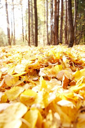 leafage: autumnal leafage in the forest Stock Photo