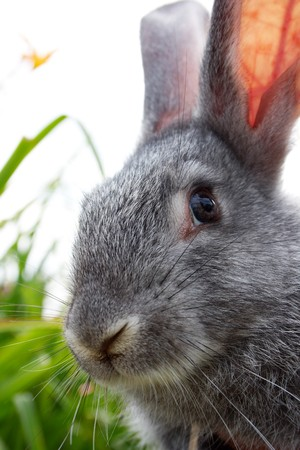 cautious: Image of cautious grey bunny looking at camera