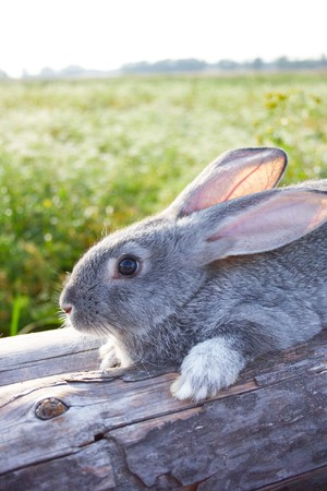 cautious: Image of cautious grey bunny lying on dry tree trunk outdoor