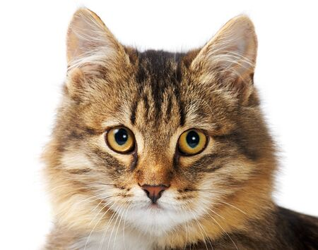 Image of fluffy grey cat looking at camera over white background Stock Photo - 8405543