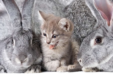 Image of cute kitten between two grey rabbits photo