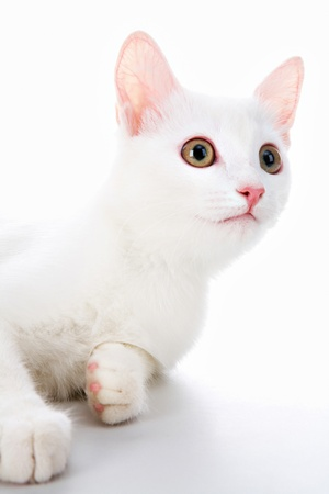 Image of cute white cat lying in studio over white background photo