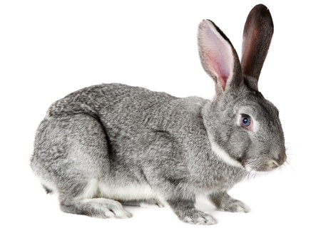 lapin: Image de Mignon lapin gris isol� sur fond blanc