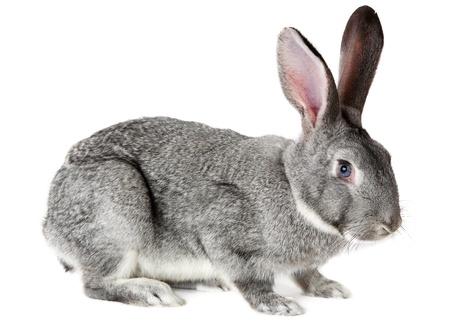 conejo: Imagen de lindo conejo gris aislado sobre fondo blanco
