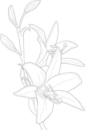 Vector illustration of beautiful lilly
