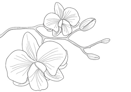 orchid flower: Vector illustration of orchid flower on white background  Illustration