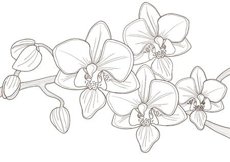orchids: Illustrazione vettoriale di bella ramoscello di orchidea