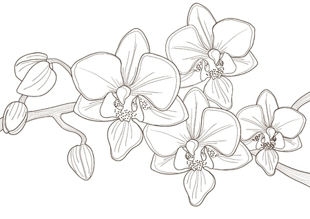 orchid: Vector illustration of beautiful twig of orchid