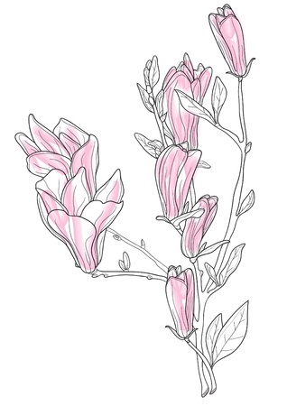Vector illustration of beautiful pink magnolia Vector