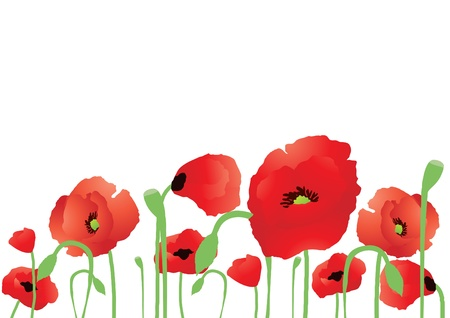 opium: Vector illustration of beautiful poppies on a white background   Illustration