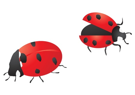 Vector illustration of  two ladybugs on white background   Illustration