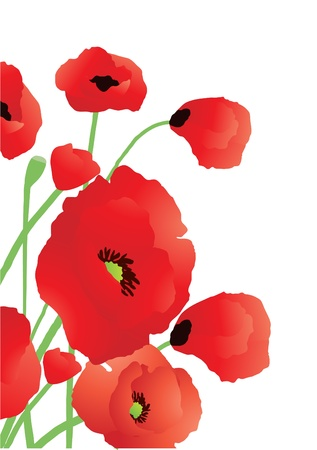 Vector illustration of beautiful poppies on a white background   Vector