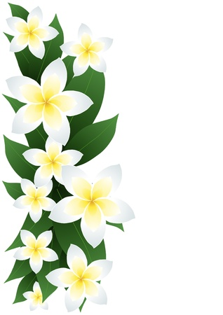 flower line:  illustration of frangipani flowers isolated on white