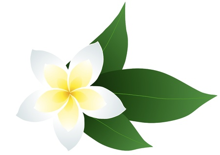 flore: illustration of frangipani with leaves  Illustration